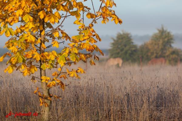 Herbstfarben mit Pferden im Hintergrund