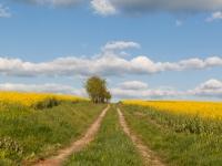 Feldweg durch ein Rapsfeld