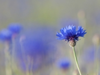 Flockenblumen, Kornbume
