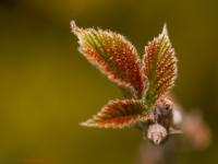 aufgehende Knospe im Frühjahr