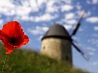 Mohnblüte mit Windmühle