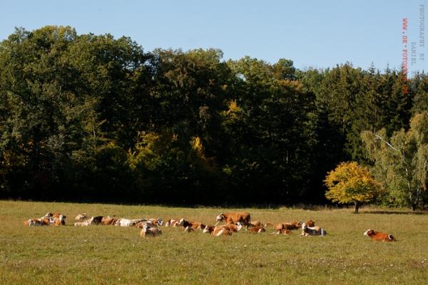 Rinderherde im Herbst