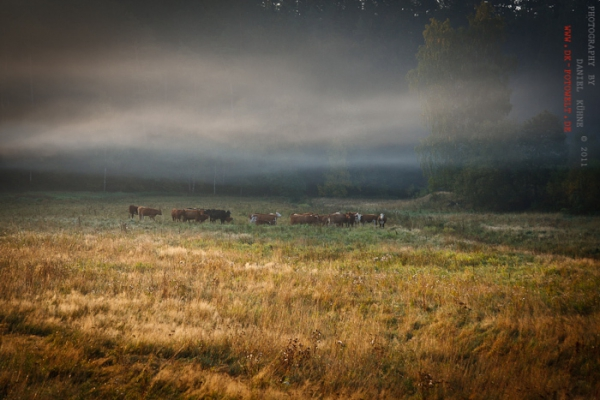 Viehherde mit Nebel