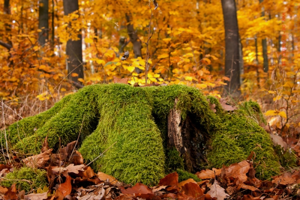 bemoster Baumstumpf mit Herbstwald